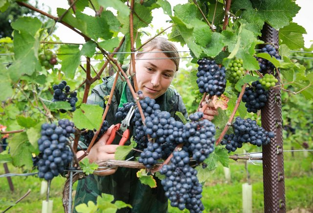 Ana Maria Malancu picking grapes at the Nyetimber estate in West Sussex. Photo: Matt Alexander/PA Wire
