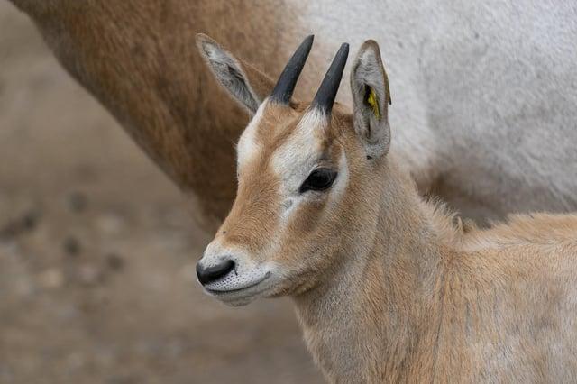Freya the baby scimitar-horned oryx calf born at Marwell Zoo.