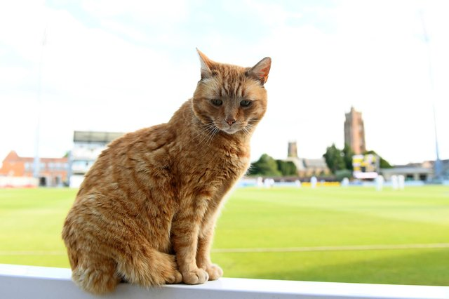 Brian the Somerset Cat watches play during day two of the LV= Insurance County Championship match between Somerset and Hampshire at Taunton. Photo by Harry Trump/Getty Images.