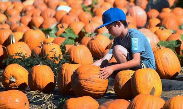 Why not pick your own pumpkin this year? Picture: FREDERIC J. BROWN/AFP/Getty Images