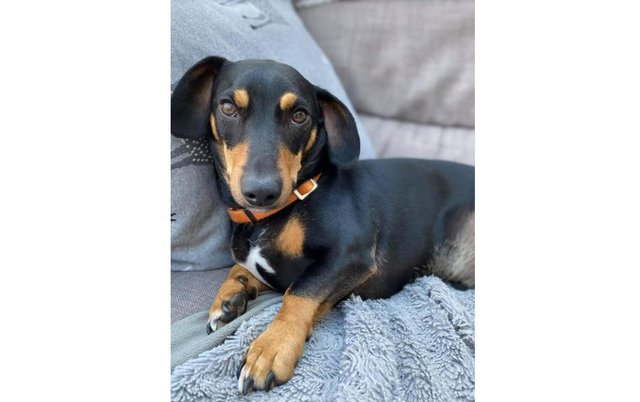 Didley, a three-year-old sausage dog, has been missing since Tuesday. Picture: Katy Murray