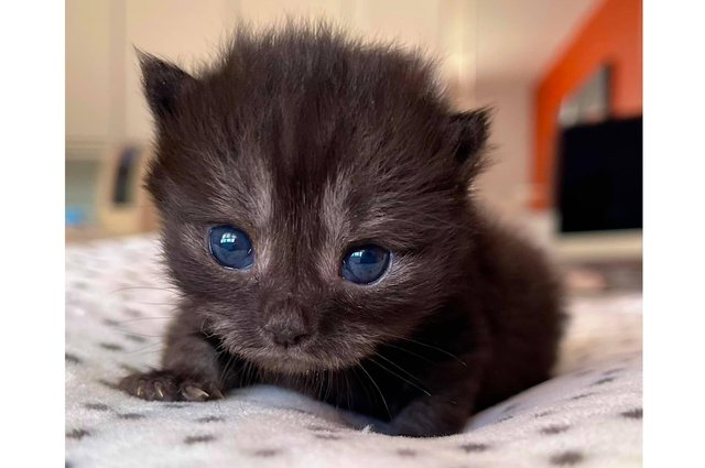 Tiny kitten Winston was rescued by The Cat Welfare Group when he was abandoned by his mother, and volunteers gave him round-the-clock care